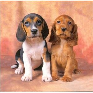 Beagle and Spaniel Puppies