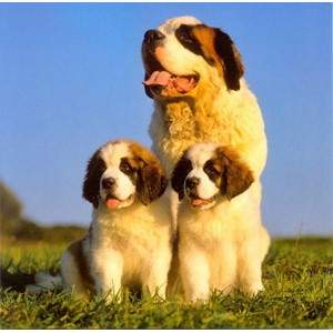 St. Bernard with Puppies