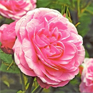 Classic Pink Rose