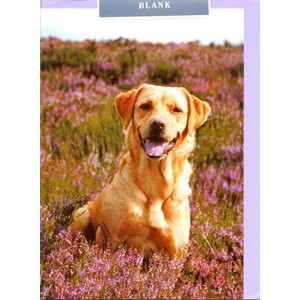 Labrador in Heather